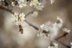 Abeja en el manzano en primavera Imagenes de archivo
