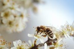 Abeja en el manzano en primavera Imagen de archivo
