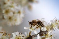 Abeja en el manzano en primavera Fotografía de archivo
