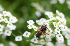 Abeja en el maritima blanco del Lobularia (flores del Alyssum) Foto de archivo
