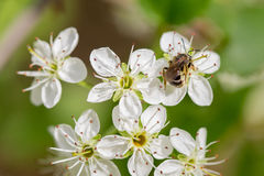Abeja en el néctar de la toma de la flor Imagenes de archivo