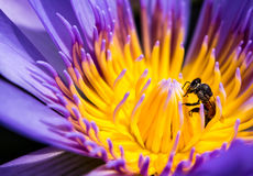 Abeja en el pétalo azul y el polen amarillo del lirio de agua Foto de archivo libre de regalías