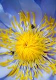 Abeja en el pétalo azul y el polen amarillo del lirio de agua Imágenes de archivo libres de regalías