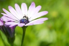 Abeja en el pétalo de la flor Fotos de archivo libres de regalías