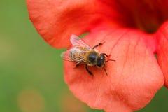 Abeja en el pétalo de una flor del bignognia Foto de archivo