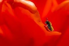Abeja en el pétalo del tulipán holandés rojo en parque Imagenes de archivo