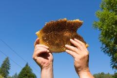 Abeja en el panal, miel fresca de abejas salvajes Foto de archivo libre de regalías