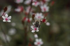 abeja en el pequeño primer rosado de las flores Imagenes de archivo