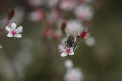 abeja en el pequeño primer rosado de las flores Fotografía de archivo