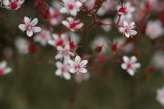 abeja en el pequeño primer rosado de las flores Imagen de archivo