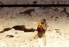 Abeja en el piso del cemento del instituto de Salk Fotografía de archivo