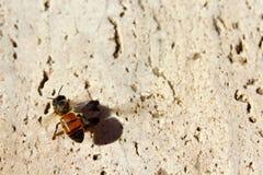 Abeja en el piso del cemento del instituto de Salk Fotos de archivo