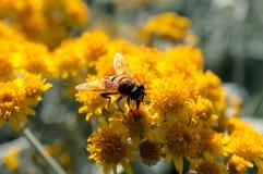 Abeja en el polen Fotografía de archivo