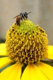 Abeja en el polen amarillo Fotos de archivo