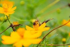 Abeja en el polen de la flor en la pierna Imagen de archivo