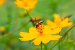 Abeja en el polen de la flor en la pierna Imágenes de archivo libres de regalías
