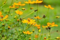 Abeja en el polen de la flor en la pierna Fotografía de archivo libre de regalías