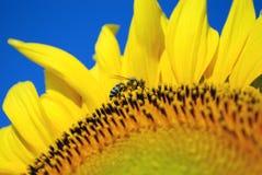 Abeja en el polen del girasol Foto de archivo