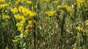 Abeja en el prado, recogiendo el polen Foto de archivo libre de regalías
