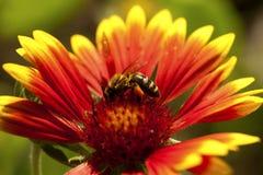 Abeja en el primer de la flor Foto de archivo