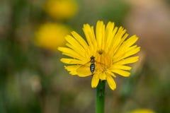 Abeja en el primer de la flor Fotos de archivo