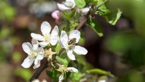 Abeja en el primer de la flor de las flores de cerezo Fotografía de archivo libre de regalías