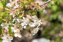 Abeja en el primer de la flor de las flores de cerezo Imagenes de archivo