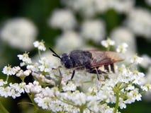 Abeja en el primer de las flores blancas Fotos de archivo