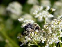 Abeja en el primer de las flores blancas Fotografía de archivo libre de regalías