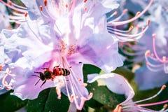 Abeja en el primer extremo de la flor del rododendro en un día soleado Imagen de archivo
