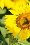 Abeja en el primer genético modificado del girasol Foto de archivo libre de regalías