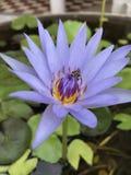 Abeja en el primer púrpura de la flor de loto Imágenes de archivo libres de regalías