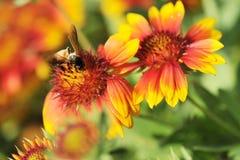 Abeja en el pulchella Foug, flor combinada del Gaillardia Foto de archivo libre de regalías
