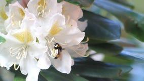 Abeja en el rododendro del blanco de la flor metrajes