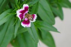 Abeja en el rosa de arco iris (Diranthus chinensis) Foto de archivo libre de regalías