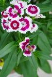 Abeja en el rosa de arco iris (Diranthus chinensis) Fotos de archivo libres de regalías