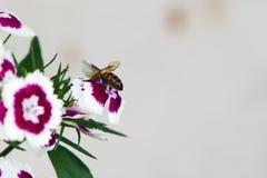 Abeja en el rosa de arco iris (Diranthus chinensis) Fotografía de archivo