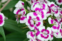 Abeja en el rosa de arco iris (Diranthus chinensis) Imagenes de archivo