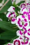 Abeja en el rosa de arco iris (Diranthus chinensis) Imágenes de archivo libres de regalías