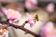 Abeja en el Sakura rosado Fotos de archivo