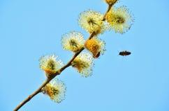 Abeja en el sauce de la primavera Foto de archivo