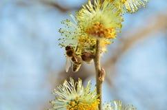 Abeja en el sauce de la primavera Fotos de archivo libres de regalías