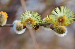 Abeja en el sauce de la primavera Foto de archivo libre de regalías