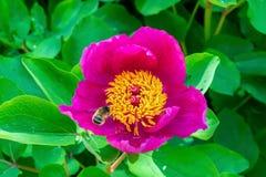 Abeja en el solo primer rosado de la flor del pionia en el jardín en el fondo verde, macro imágenes de archivo libres de regalías