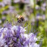 Abeja en el tanacetifolia ligero de Phacelia de las flores de las violetas Foto de archivo libre de regalías