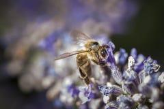 Abeja en el top del flor púrpura Foto de archivo libre de regalías