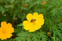 Abeja en el trabajo sobre la flor amarilla Fotos de archivo libres de regalías