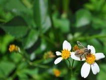 Abeja en el trabajo sobre la flor blanca y amarilla Foto de archivo libre de regalías