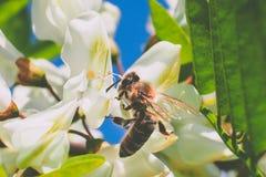 Abeja en el trabajo sobre la flor del acacia Fotografía de archivo