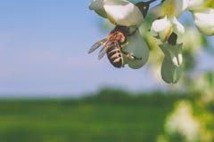 Abeja en el trabajo sobre la flor del acacia Fotos de archivo